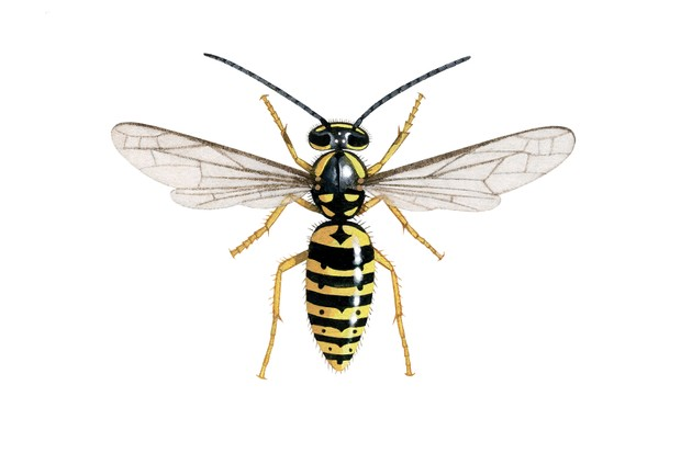 Common German wasp