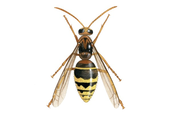 IH85---Hornet-male-(Vespa-crabro)
