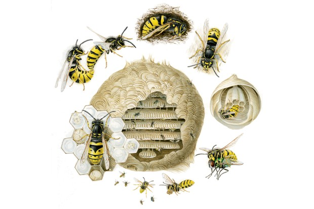 Lifecycle of wasps /nature.plc