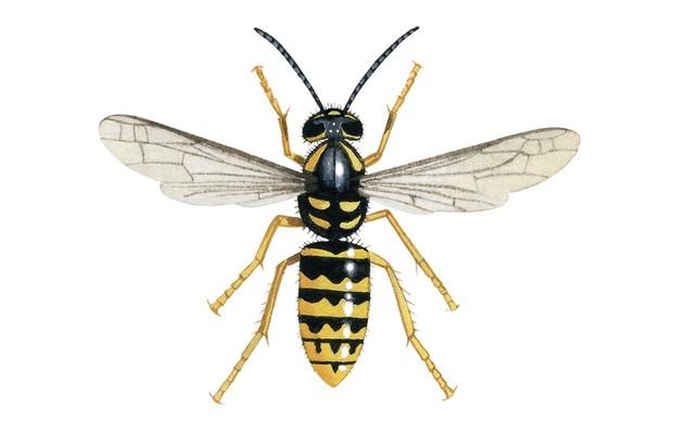 Dolchovespula species