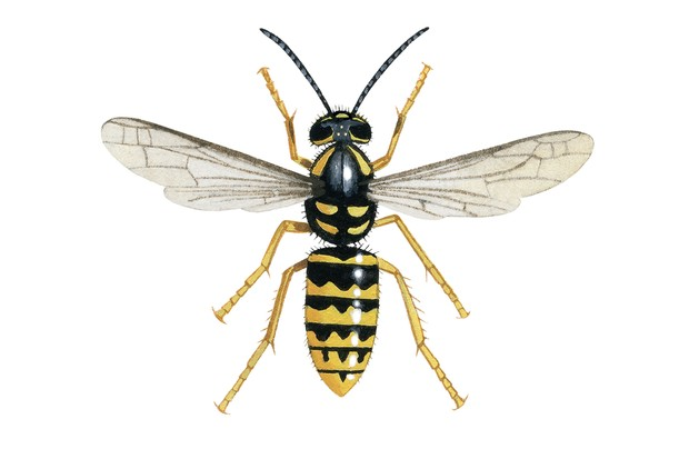 Dolchovespula species