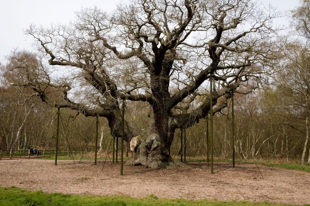Sherwood Oak estimated at over 1000 years old. It is also featured in the Robin Hood legend as somewhere he took refuge and is located near Edwinstowe in Nottinghamshire. (Getty)