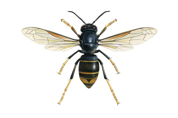 Yellow-legged Asian hornet