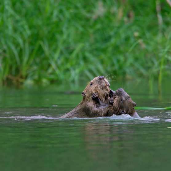 Beavers in river