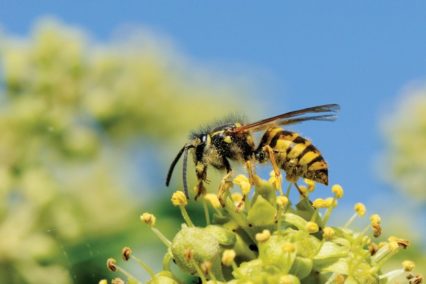 Common-wasp