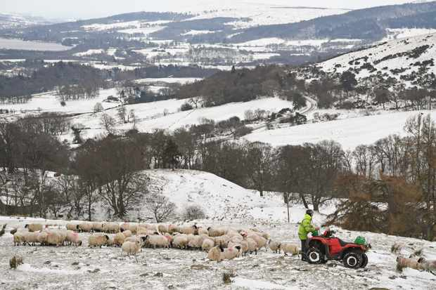 Hill farmer and sheep in Scotland