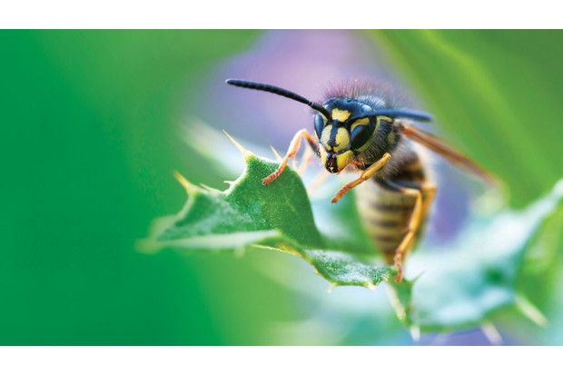 British Wasp Guide How To Identify Common Species Lifecycle And