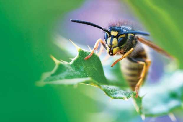 Yellowjacket wasp/nature.pl