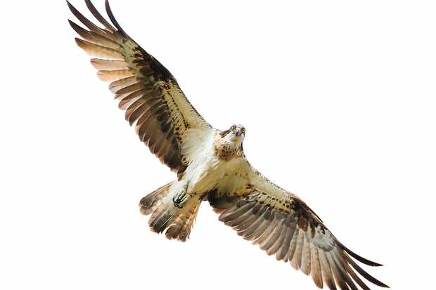 an osprey flying overhead with full eye contact and great feather detail