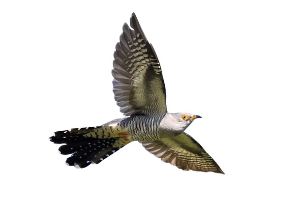 Common cuckoo male in flight against blue sky.