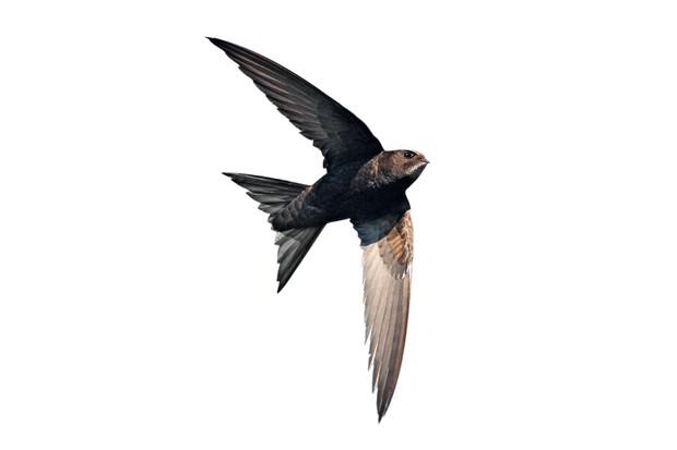 Common Swift (Apus apus) in flight Wirral Merseyside UK July52042