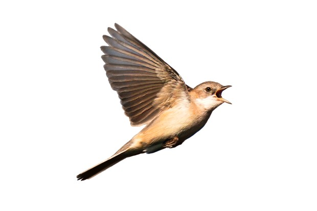Male Common Whitethroat (Mannetje Grasmus) in song flight