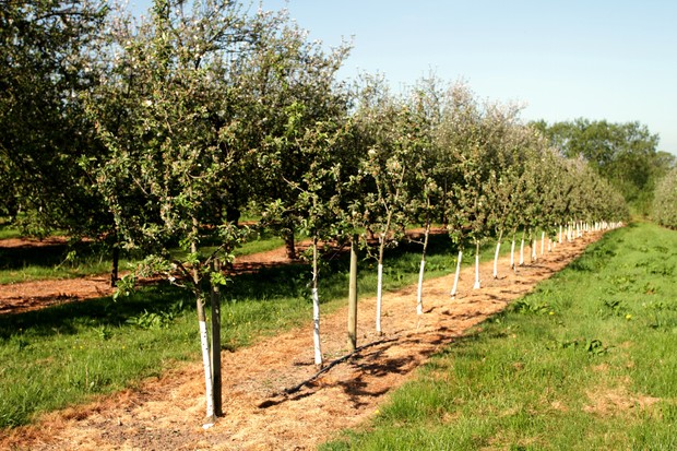 Young apple trees