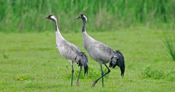 Britain's tallest bird booms!
