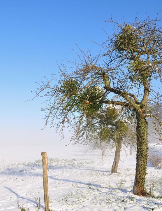 Mistletoe growing on a snowy apple tree