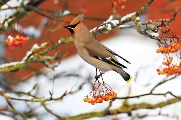 Waxwing, Bombycilla garrulus, single bird on rowan berries ©Getty