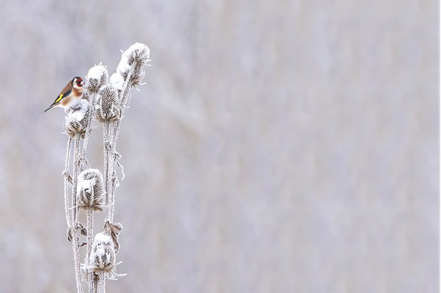 European Goldfinch resting on a wild teasel at winter time ©Getty