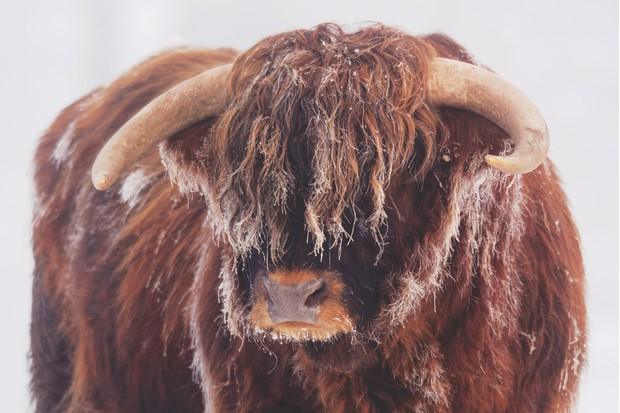 Highland Bull, Berwickshire, Scotland, ©Naturepl.com