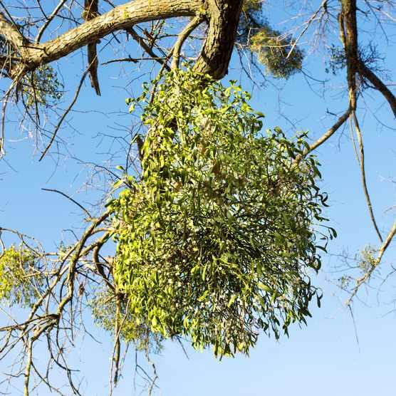 Mistletoe growing in a tree
