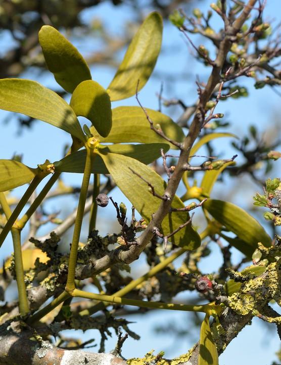 Mistletoe growing in a hawthorn tree
