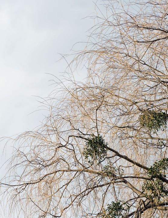 Mistletoe growing in a willow tree
