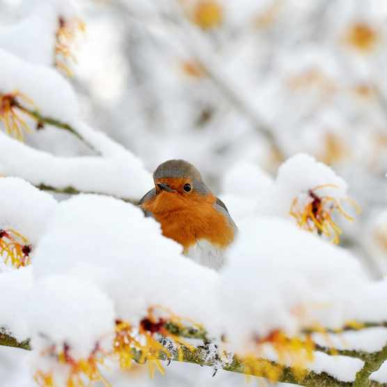 A robin sits on a snowy branch (Getty)