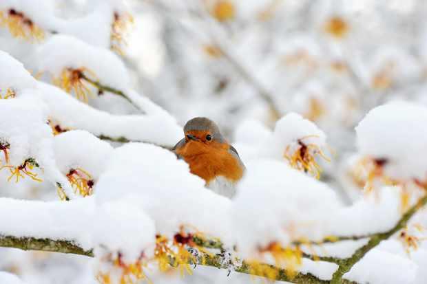 A robin sits on a snowy branch (Getty)