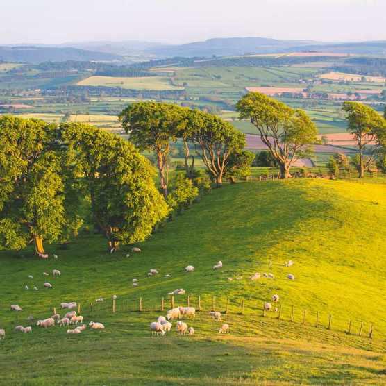 Shropshire Beeches