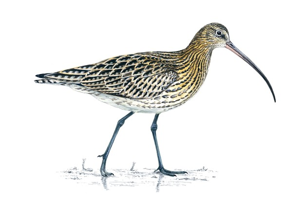 Curlew, Numenius arquata ©RSPB Images