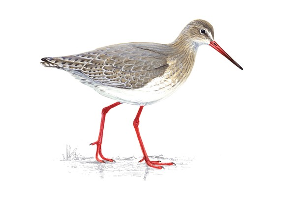 Redshank, Tringa totanus ©RSPB Images
