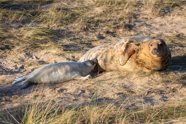 A mother feeding her young pup on Blakeney Point, photo credit National Trust - Ian Ward