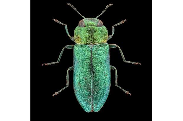 Jewel beetle - Anthaxia nitudula ©Martin Wilson