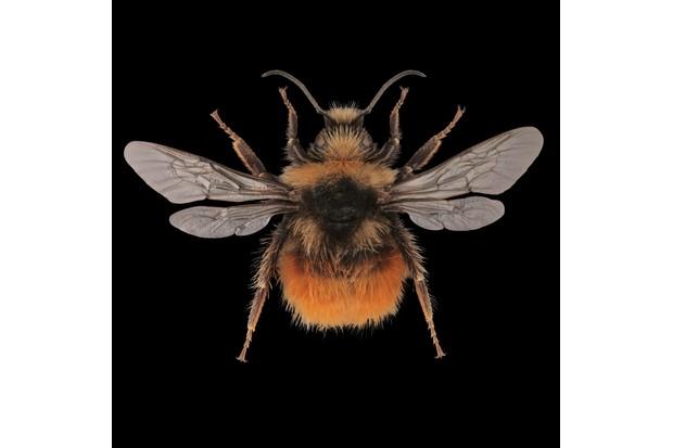 Bilberry bumblebee – Bombus monticola ©Martin Wilson