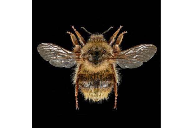 Shrill Carder Bee - Bombus sylvarum ©Martin Wilson