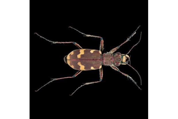 Northern dune tiger beetle - Cicindela hybrida ©Martin Wilson