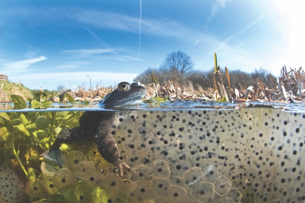 Common frog spawn