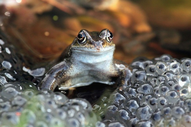 Frog and frogspawn