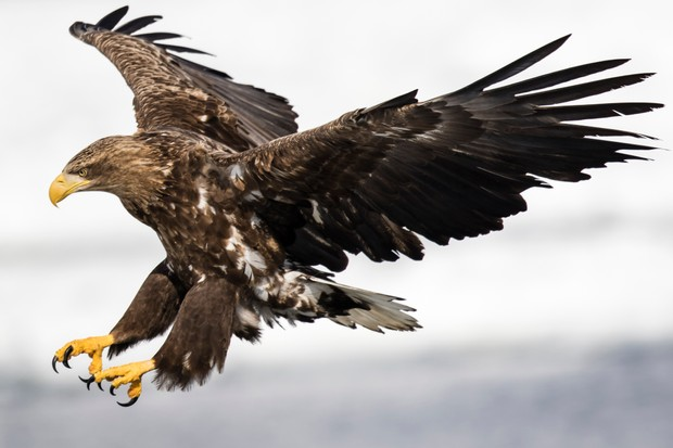 White-tailed eagle ©Getty