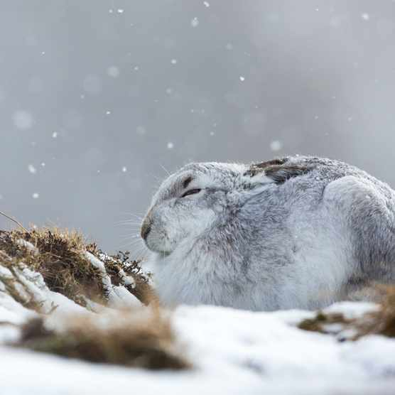 A mountain hare in the Cairngorms National Park