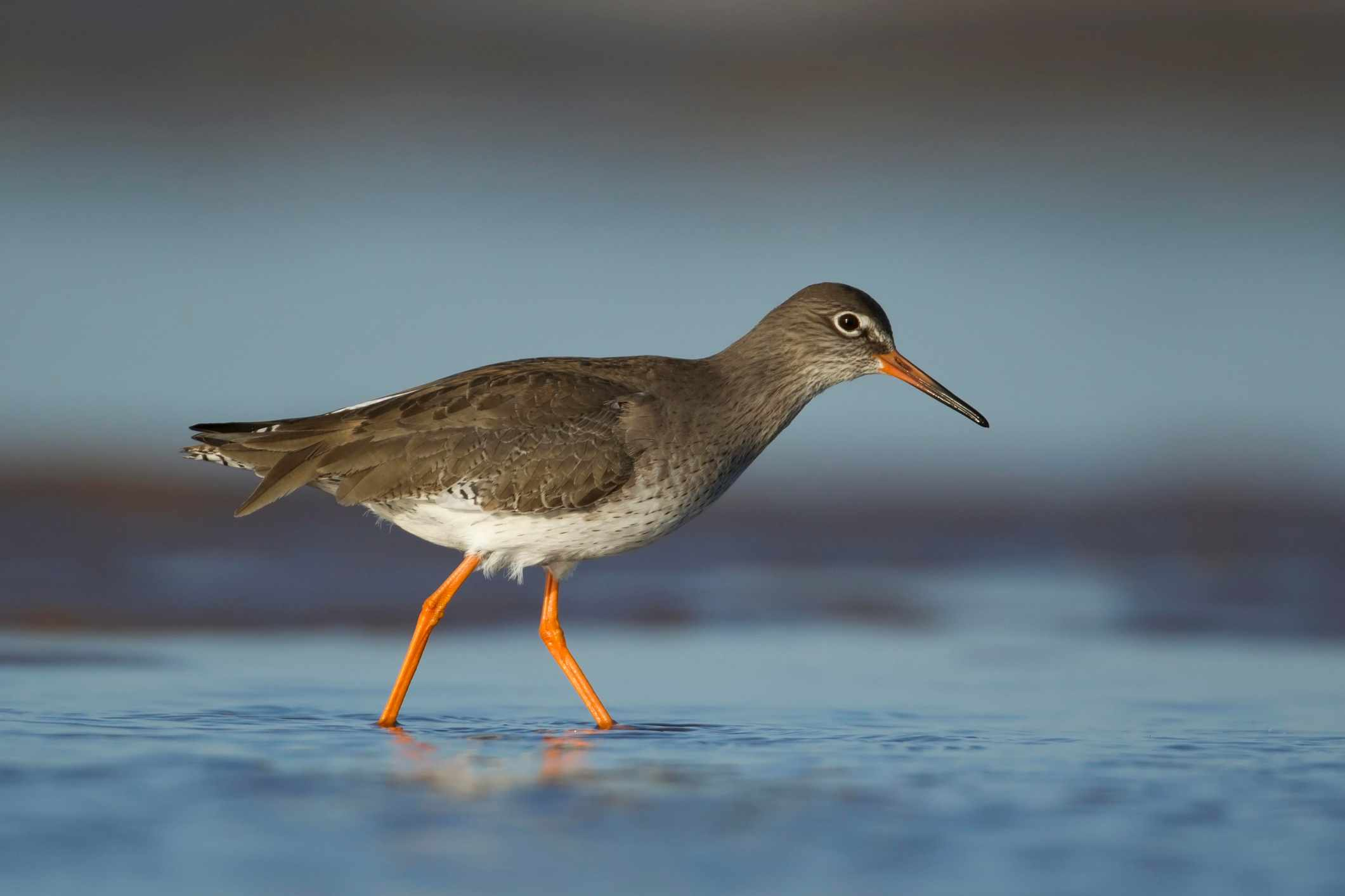Redshank (Tringa totanus) ©Getty