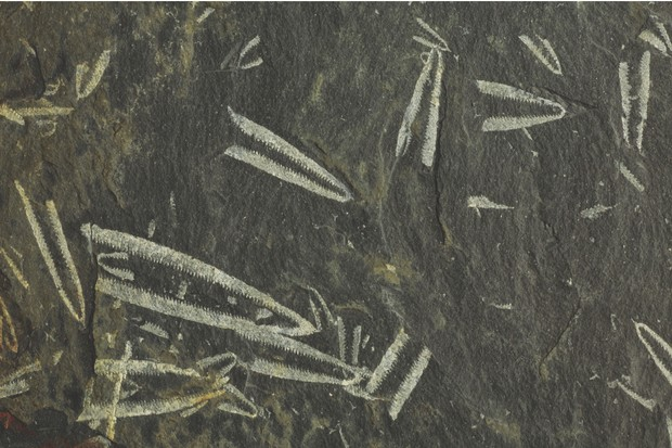 Graptolites, tuning-fork fossils, Abereiddy Bay, Pembrokeshire, Wales