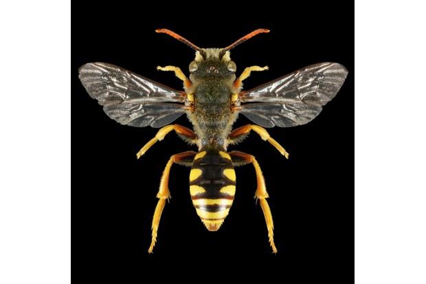 Cuckoo bee – Nomada sexfasciata