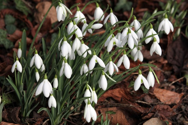 Snowdrops Guide And Walks Facts How To Grow And The Best Places