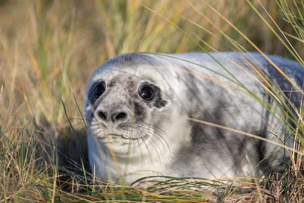 Weaned grey seal pup on Blakeney Point