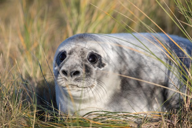 Record Breaking Year For Seal Pups Born At Norfolk Reserve