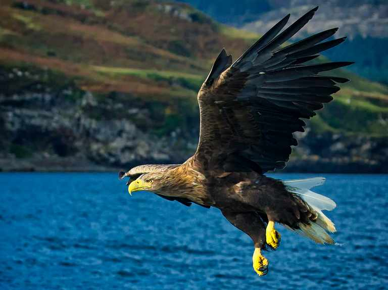 White-tailed eagle to return to the Isle of Wight