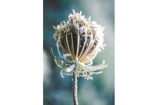 Wild carrot seed head