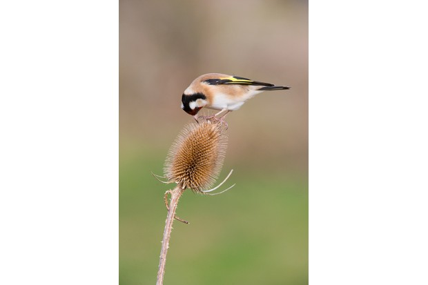 Gold finch on teasel