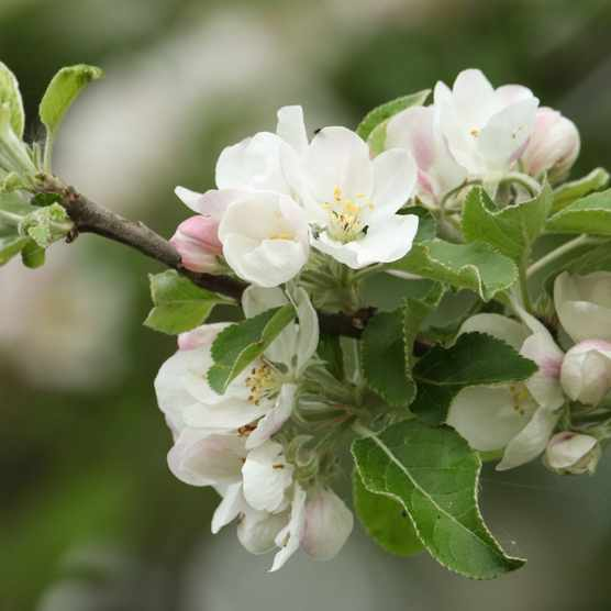 Apple tree blossom Getty Images