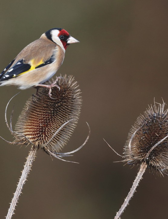 Goldfinch, Carduelis carduelis, on a winter teasel in Warwickshire